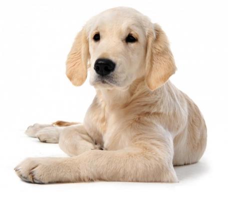 Dottordog - Labrador Retriver