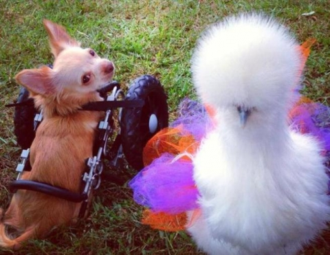 amicizia di una cane e un pollo