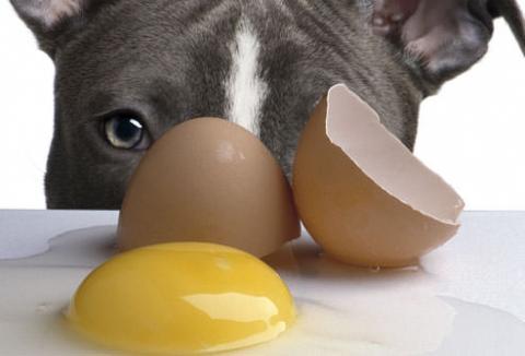 cane uova