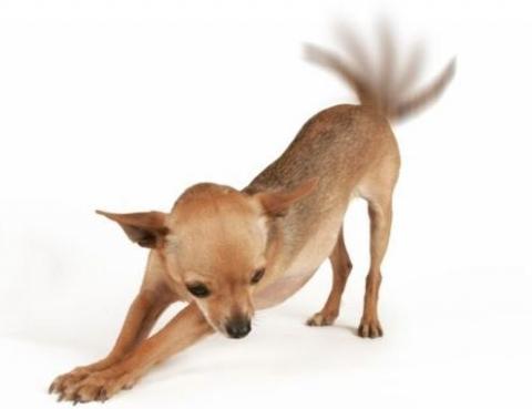cane scodinzola
