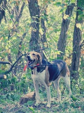 foxhound4