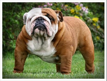 03_19_bulldog03