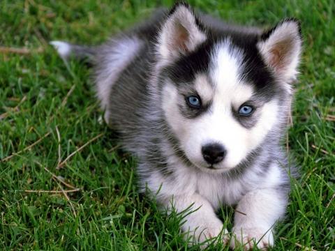siberian-husky-puppy-2
