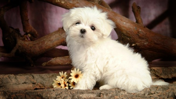 carino-cucciolo-di-maltese_1197788369