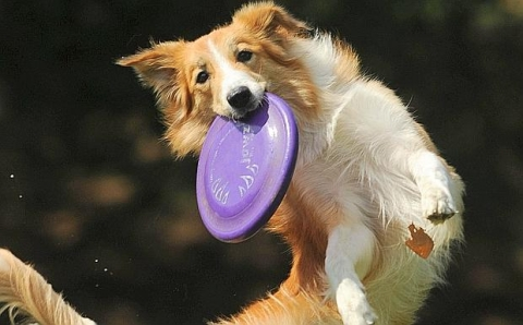 "A dog catches a frisbee during the Russian ""Dog Frisbee"" championships in Moscow on August 6, 2011. AFP PHOTO / NATALIA KOLESNIKOVA"