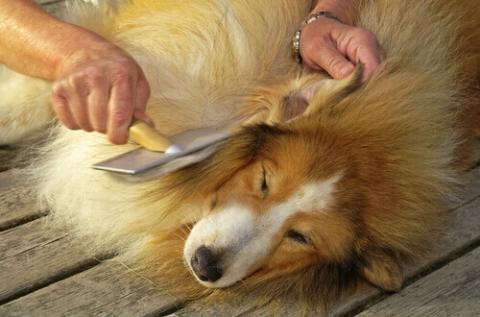 districare-il-pelo-del-cane